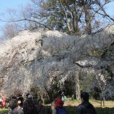 京都御所:桜