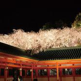 平安神宮神苑:桜ライトアップ