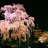 東寺:桜ライトアップ