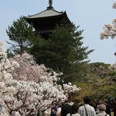仁和寺:御室桜